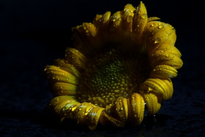 flower, nature, beautiful, sunflower, dark, shadow, dew, wet