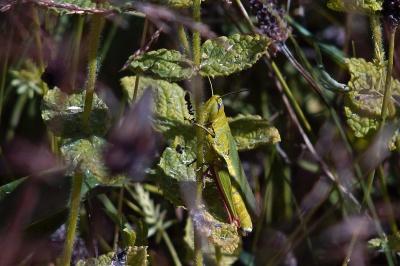 Blatt, Heuschrecke, Insekt, Blume, Natur, Flora, Garten