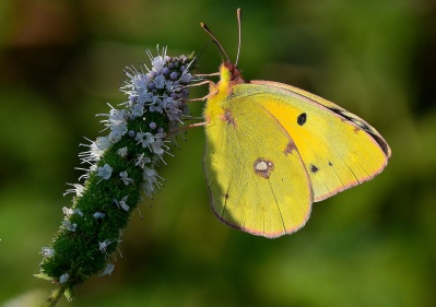 butterfly, insect, nature, flower, invertebrate, summer, moth