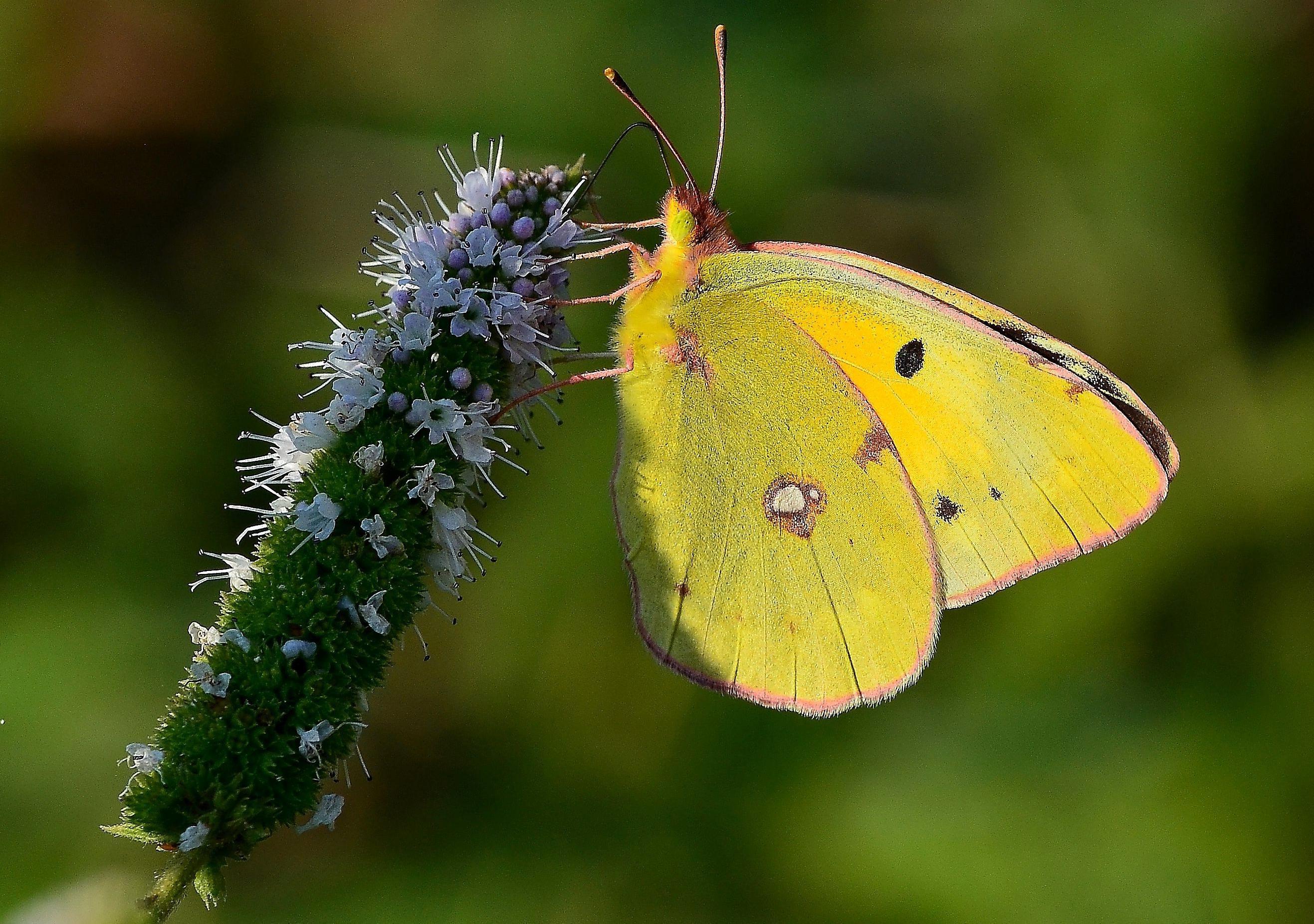 Image libre papillon insecte nature fleur invert br t papillon de nuit - Invasion papillon de nuit ...