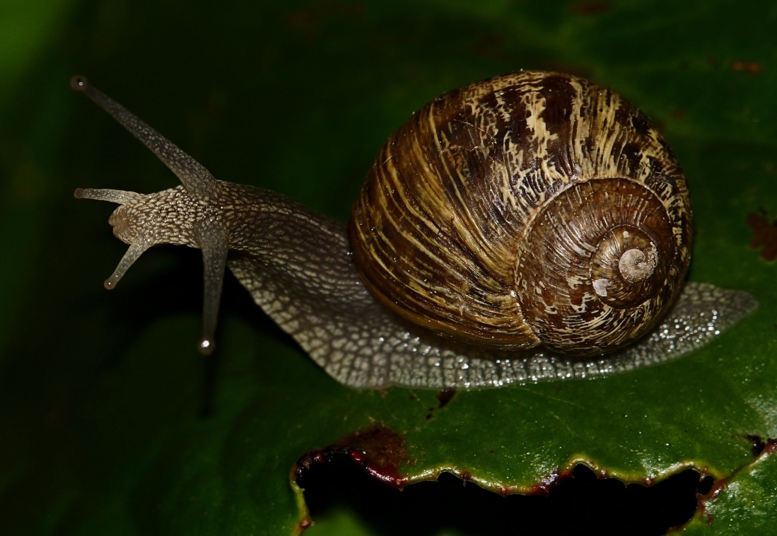 caracol, gasterópodo, invertebrado, animal, slug, limo, shell