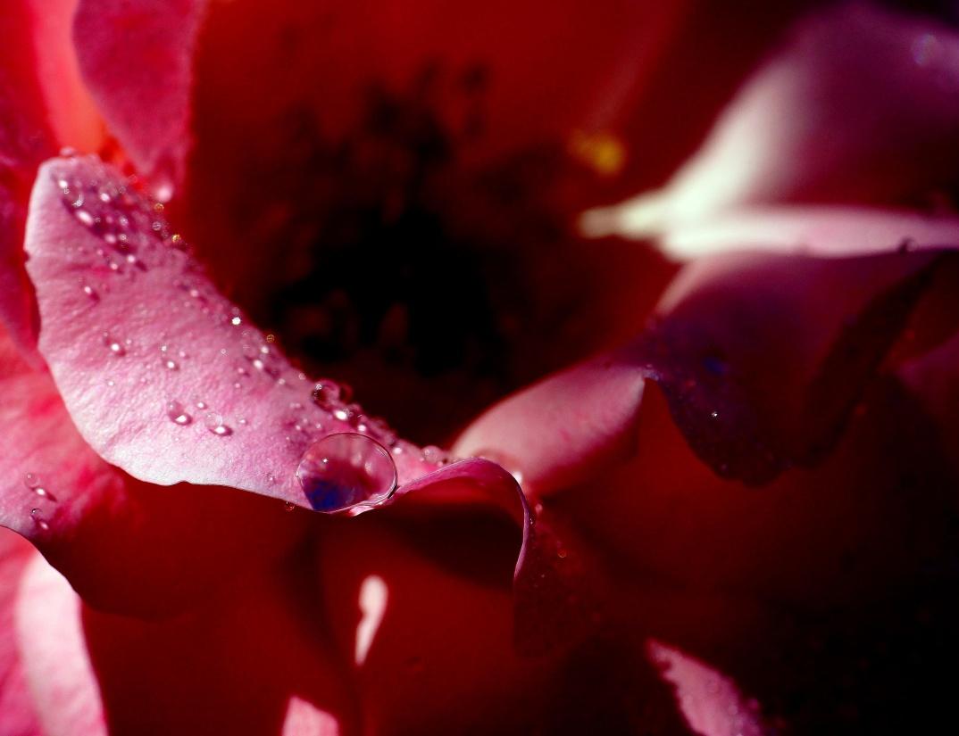 flower, nature, rose, dew, flora, beautiful, garden, summer, petal