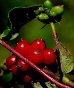 berry, fruit, leaf, nature, food, tree, branch, shrub, garden
