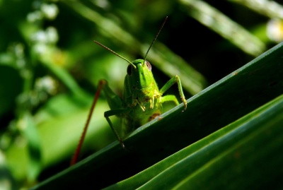 grasshopper, insect, leaf, wildlife, invertebrate, nature, animal