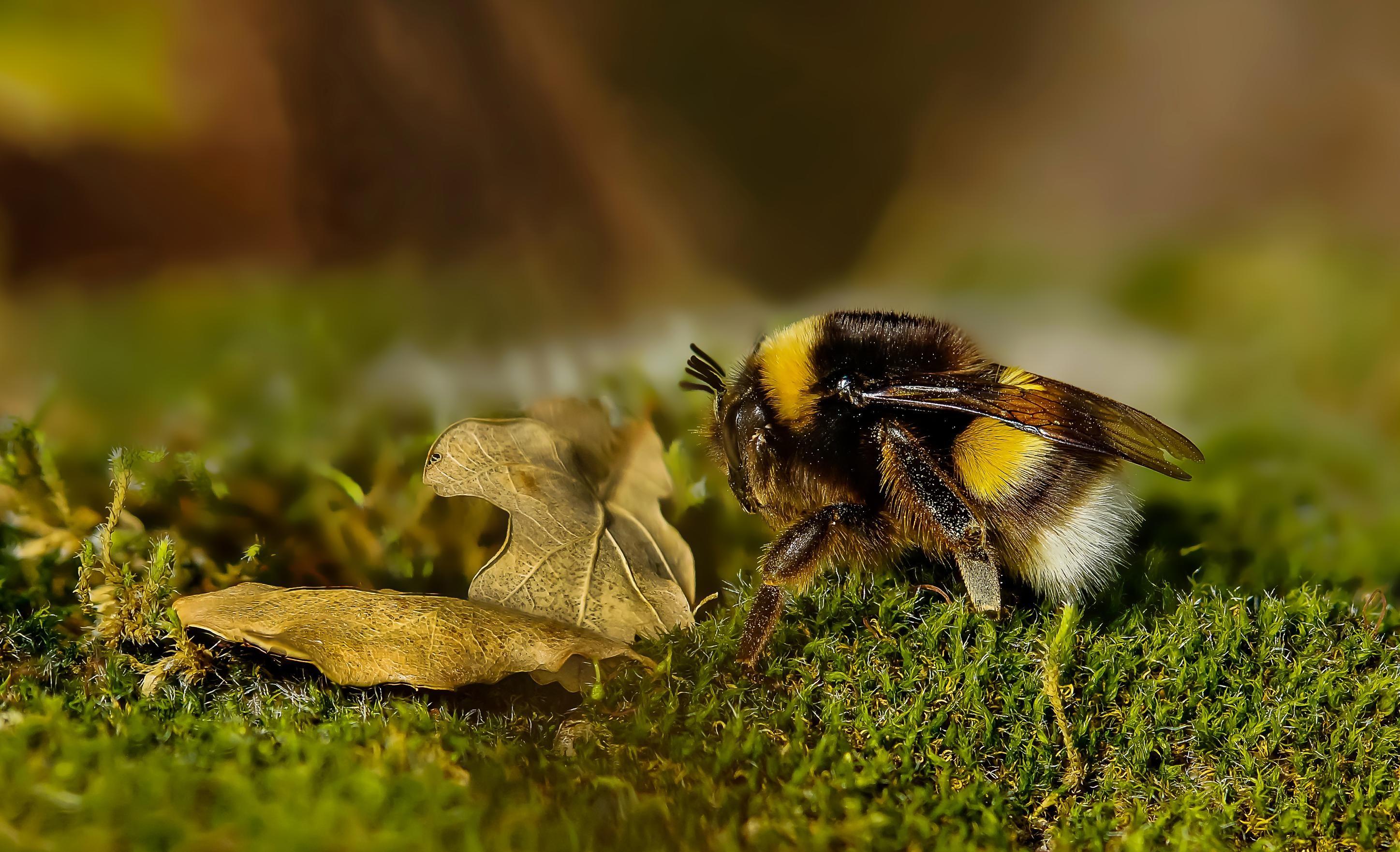 Free picture: wildlife, animal, wild, bee, leaf, macro ...