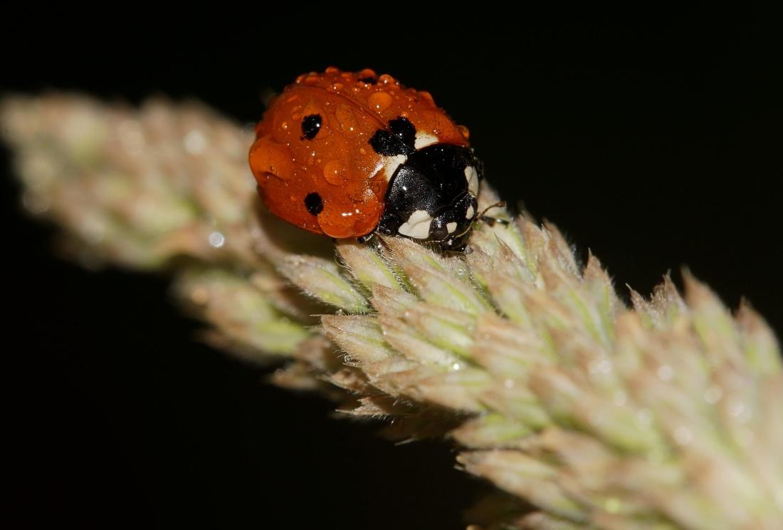 insect, ladybug, dew, rain, nature, invertebrate, beetle, arthropod