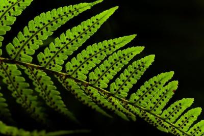 Blatt, Flora, Farn, Natur, Textur, Pflanze, Laub, dunkle
