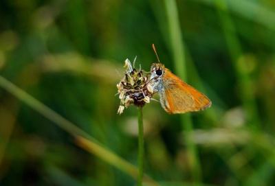Бабочка, насекомое, природы, дикой природы, лето, животных, членистоногих