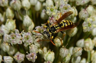 sifat, bunga, serangga, tawon, makro, hewan, hornet, flora, Taman