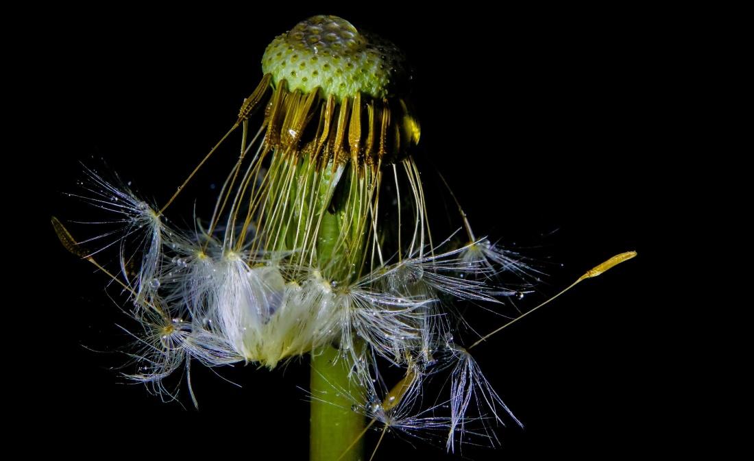 nature, flora, macro, dandelion, flower, seed, biology, herb