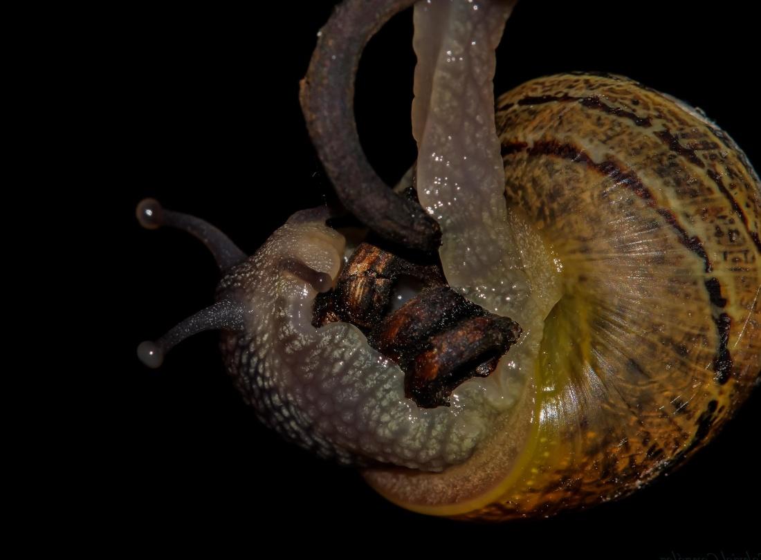 invertebrate, animal, macro, snail, gastropod, slug, animal, wildlife