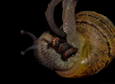 invertebrate, animal, macro, snail, gastropod, slug, animal, wildlife