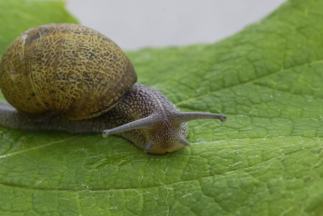 snail, gastropod, animal, macro, slug, slime, garden, invertebrate