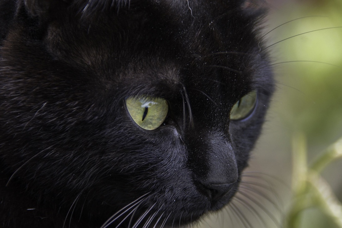 cat, portrait, eye, feline, kitty, animal, kitten, fur, pet