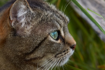 animal, cat, cute, fur, nature, portrait, wildlife, eye, pet, feline