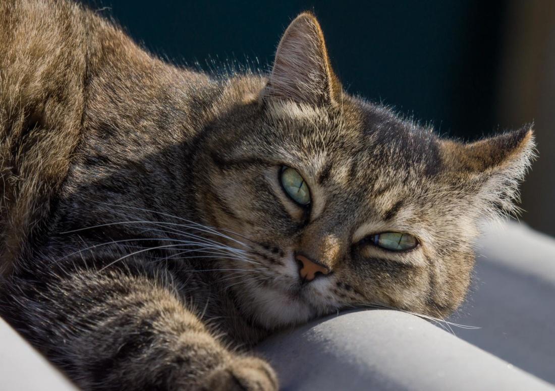 cat, portrait, animal, pet, cute, fur, kitten, feline, kitten, pedigree