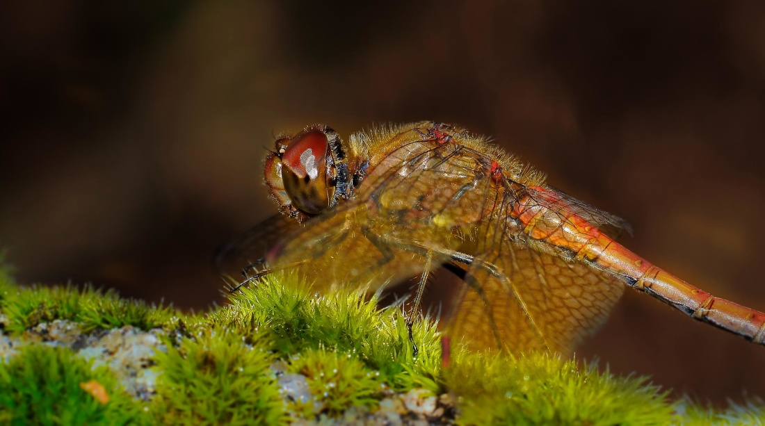 dragonfly, macro, colorful, nature, insect, wildlife, animal, arthropod