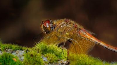 libélula, macro, colorido, naturaleza, insectos, fauna, animal, artrópodo