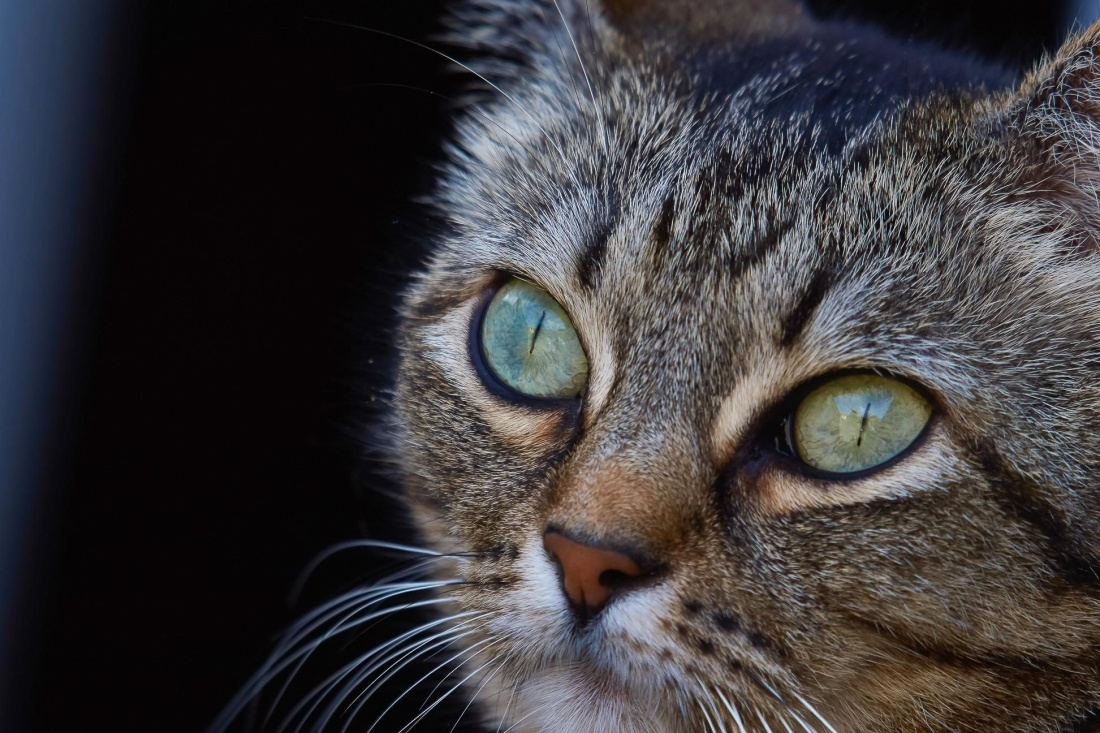 cat, eye, portrait, cute, pet, animal, fur, feline, kitten, kitty