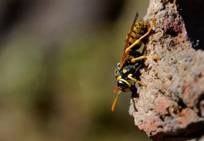 insecte, nature, faune, Pierre, guêpe, animaux, macro, hornet