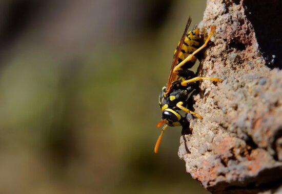 insecto, naturaleza, fauna, piedra, avispa, animal, macro, hornet
