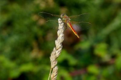 insecto, naturaleza, libélula, artrópodo, macro, animal, biología, invertebrados