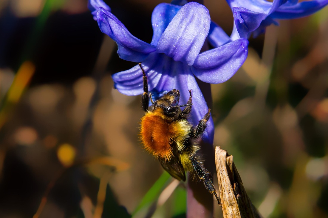 nectar, pollination, bumblebee, insect, nature, flower, plant, herb