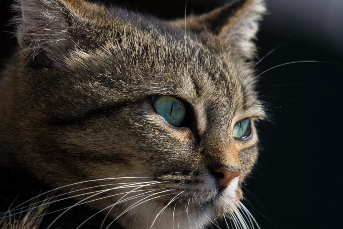 cat, animal, portrait, pet, eye, cute, fur, head, feline, kitten