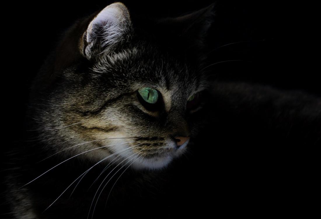 cat, portrait, eye, pet, cute, kitten, feline, animal, kitty, fur