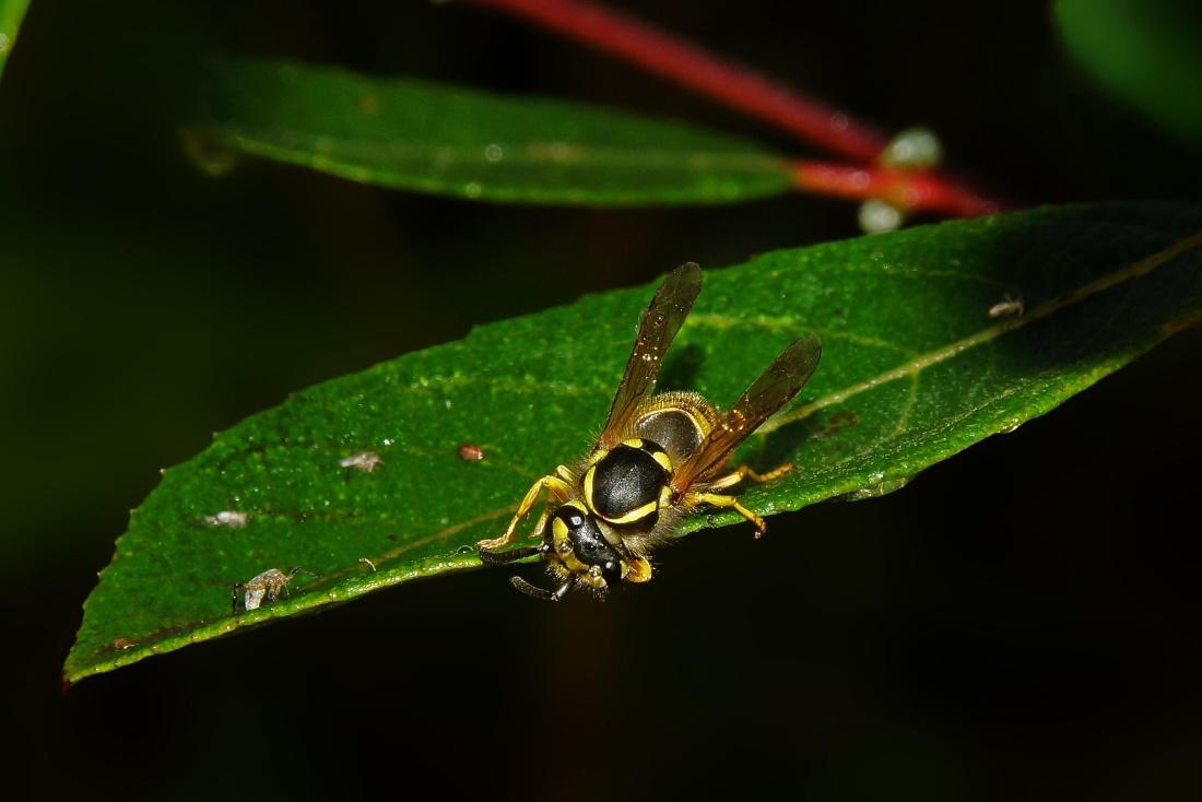 insect, nature, hornet, wildlife, invertebrate, leaf, arthropod, wasp