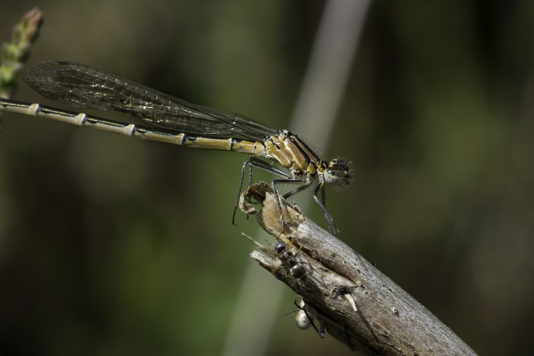 insect, dragonfly, invertebrate, wildlife, nature, arthropod