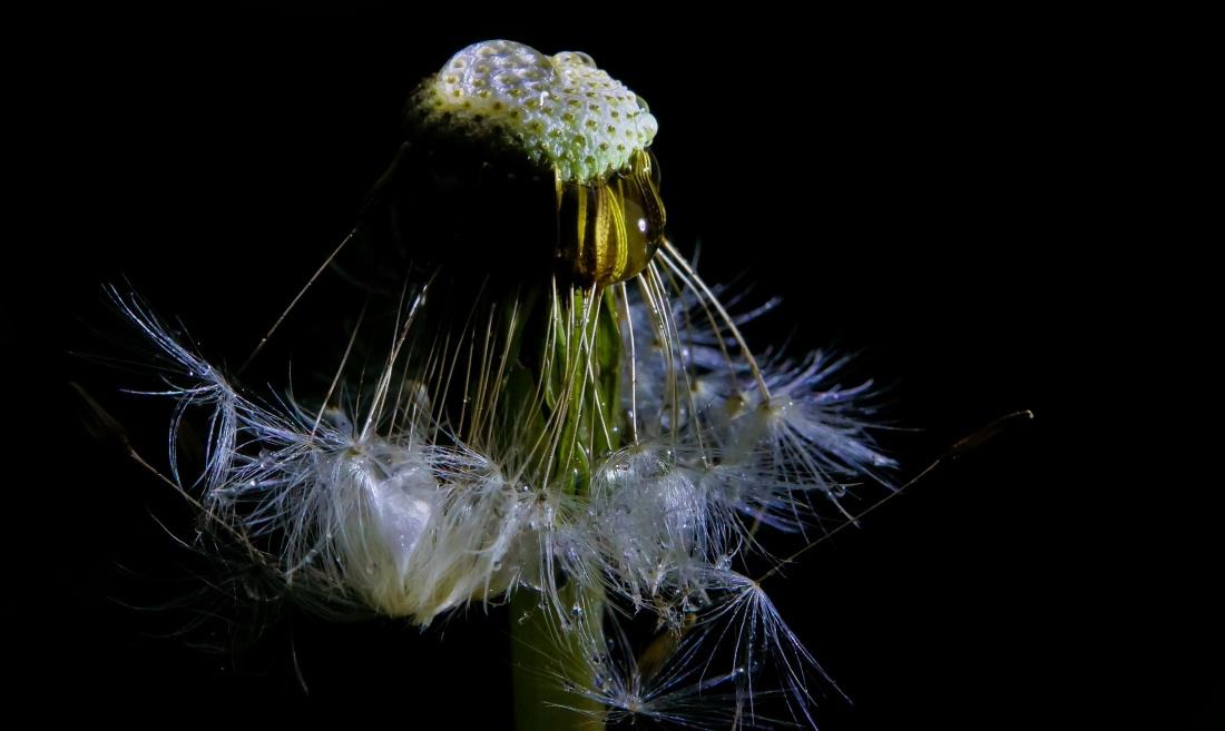 pianta, foglia, tarassaco, macro, erba, estate, fiore, seme, buio
