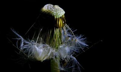 plante, feuille, pissenlit, macro, herb, été, fleur, graine, noir