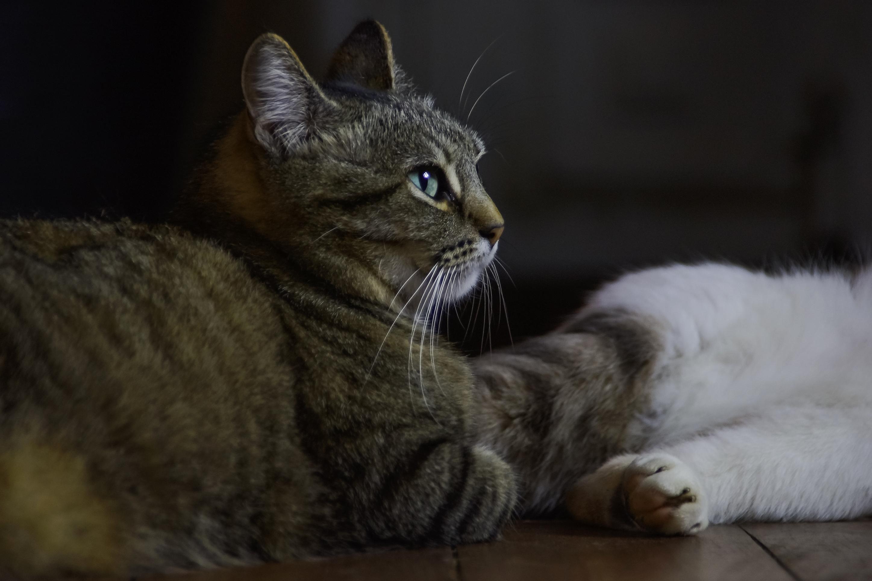 kostenlose bild katze haustier katze tier niedlich portr t fell katze kitty schnurrhaare. Black Bedroom Furniture Sets. Home Design Ideas