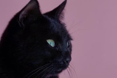 nero, gatto, ritratto, carino, pet, occhio, felino, animale, gattino