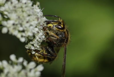 insecte, nature, fleur, nature, guêpe, la faune, animal