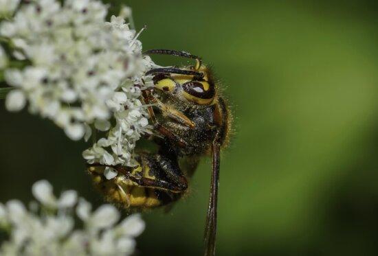 insecto, naturaleza, flor, silvestre, avispa, fauna, animal