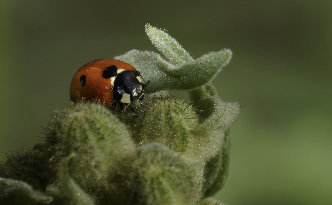 insect, nature, ladybug, macro, beetle, arthropod, invertebrate