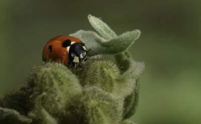 insect, nature, ladybug, macro, beetle, arthropod, invertebrate
