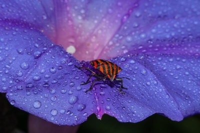 nature, flower, garden, insect, beetle, dew, rain, macro