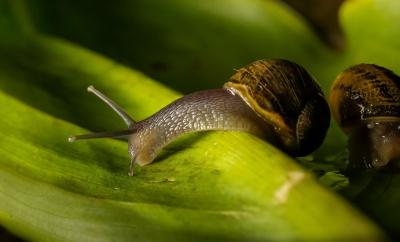 蜗牛, 腹足类, 宏观, 动物, 细节, 蛞蝓, 无脊椎动物, 粘液, 花园
