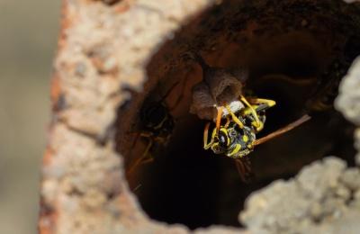 Hornet, macro, insetto, Vespa, invertebrati, cibo, natura, fauna selvatica, artropodi