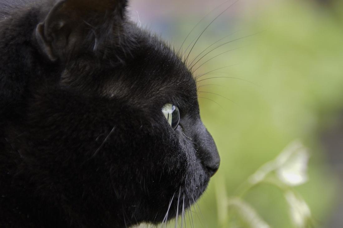 nature, cute, cat, eye, kitten, pet, black, head, domestic cat