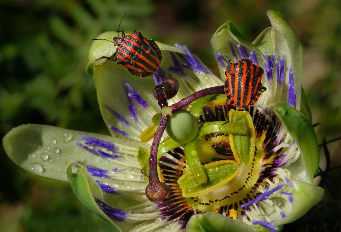매크로, 딱정벌레, flowet, 암 꽃 술, 세부 사항,이 슬, 비, 자연, 곤충