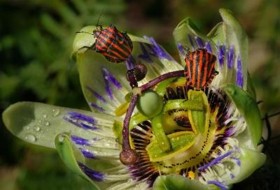 macro, beetle, flowet, pistil, detail, dew, rain, nature, insect