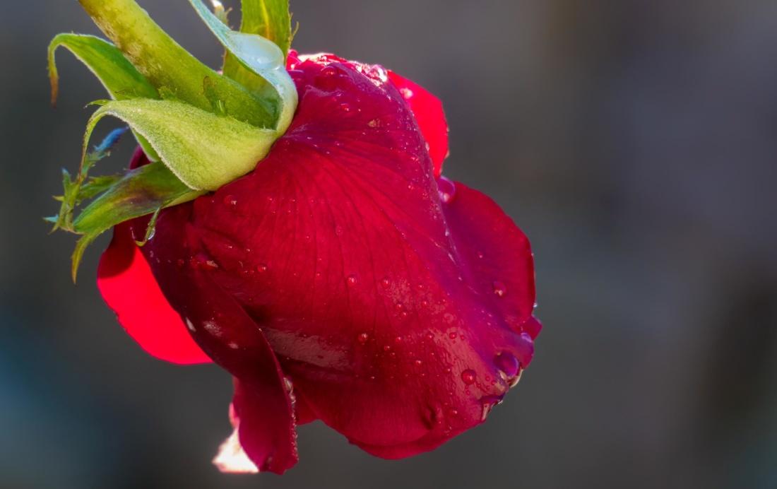 nature, flower, leaf, rain, dew, petals, macro
