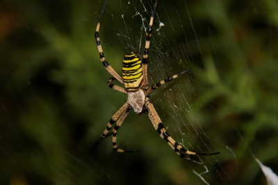 spin, spinrag, insect, val, spinnenweb, natuur, ongewervelden