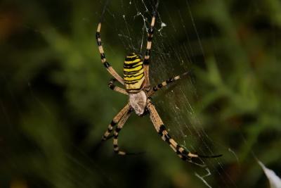 pavouk, pavučina, hmyz, past, pavučina, příroda, bezobratlých