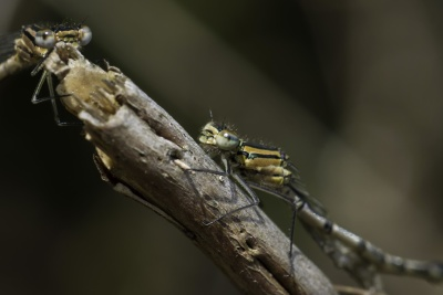insect, invertebrate, wildlife, dragonfly, nature, animal, macro, detail
