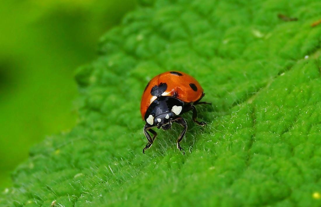Marienkäfer, Natur, Makro, Blatt, Rasen, Insekten, Käfer, Gliederfüßer, Wirbellosen